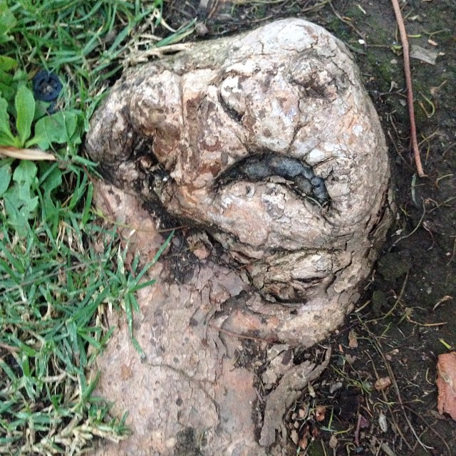 Jabba the Root