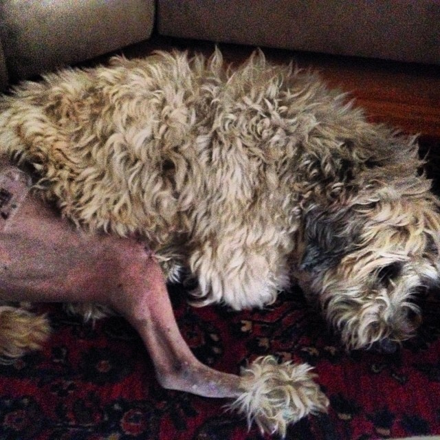 Roscoe done tore his ACL... Look at that chicken leg w/ pompom! (He's aok on the mend...)